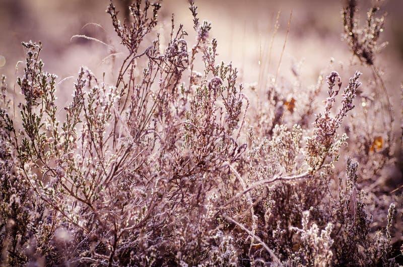 Fiore congelato dell'erica fotografie stock libere da diritti