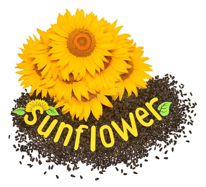 Fiore creativo di idea di un girasole e dei semi isolati su bianco immagini stock