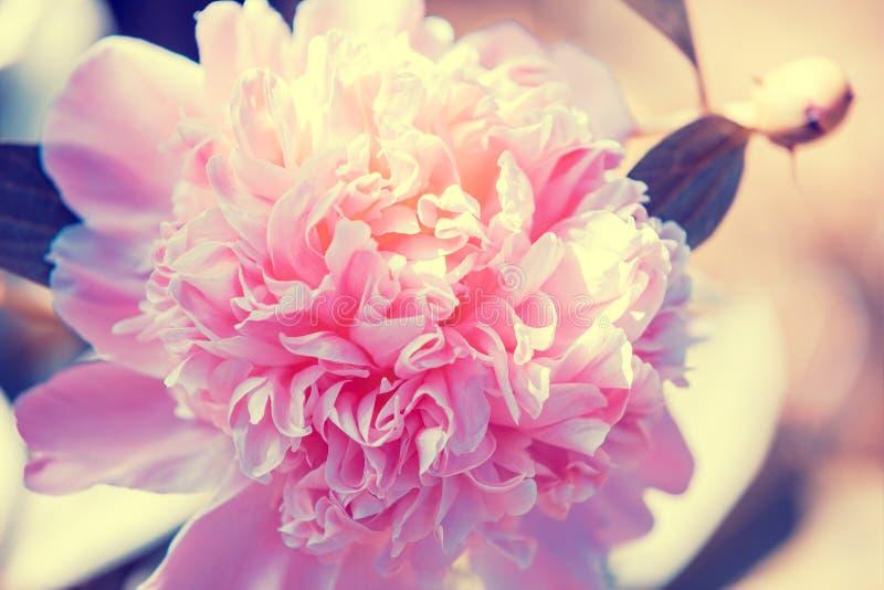 Fiore d'annata di fioritura della peonia fotografia stock