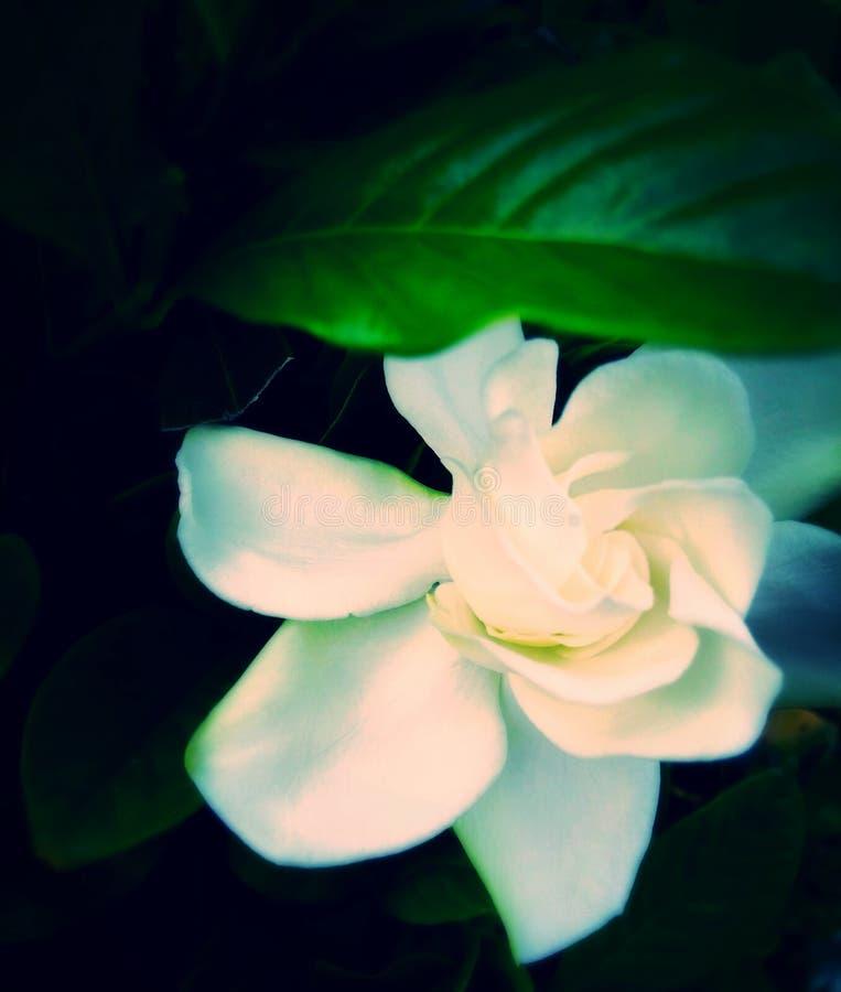 Fiore 2 d'ardore fotografia stock