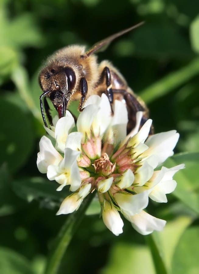 Fiore d'impollinazione del trifoglio dell'ape europea fotografie stock libere da diritti