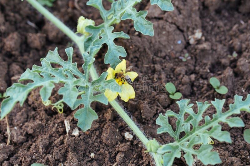 Fiore d'impollinazione dell'anguria dell'ape sul campo dell'azienda agricola organica di eco fotografie stock
