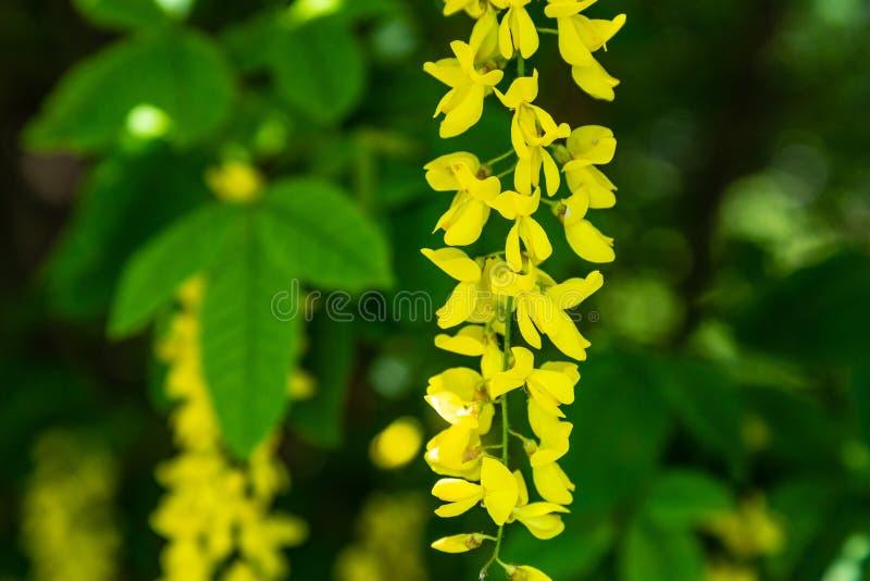 Fiore dei anagyroides di maggiociondolo dell'acacia fotografie stock