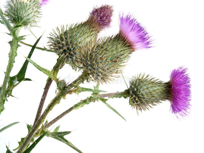 Fiore dei cardi selvatici fotografie stock libere da diritti