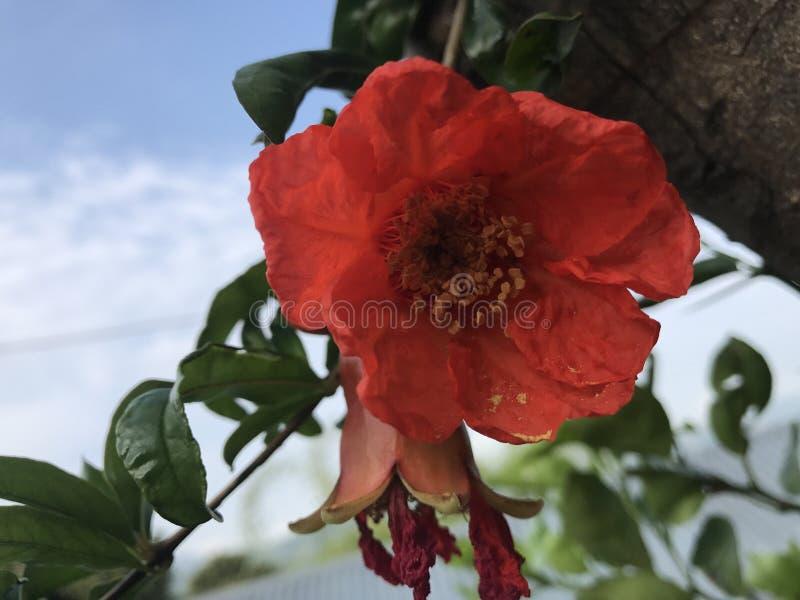 Fiore dei melograni fotografia stock