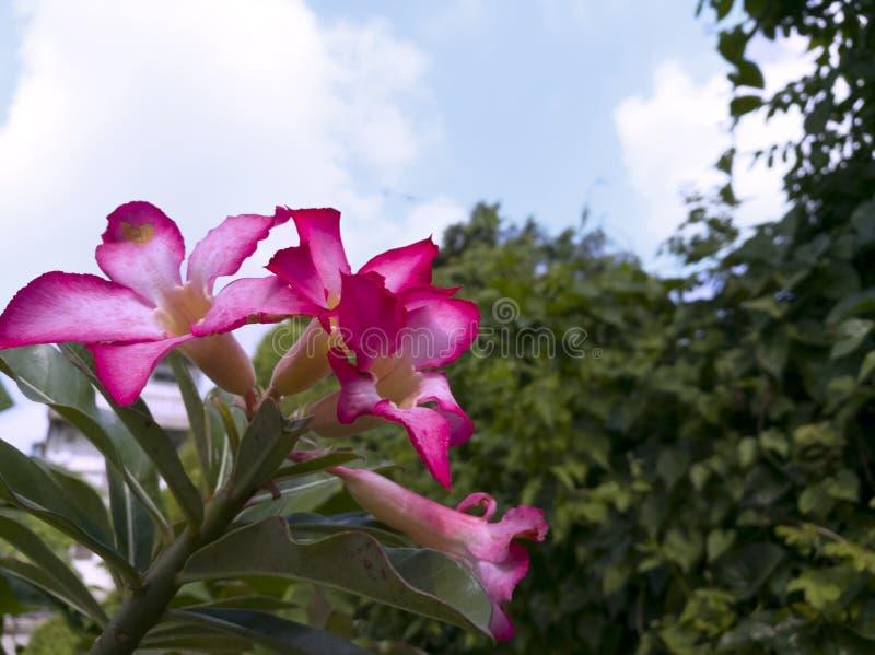 Fiore del Adenium fotografia stock