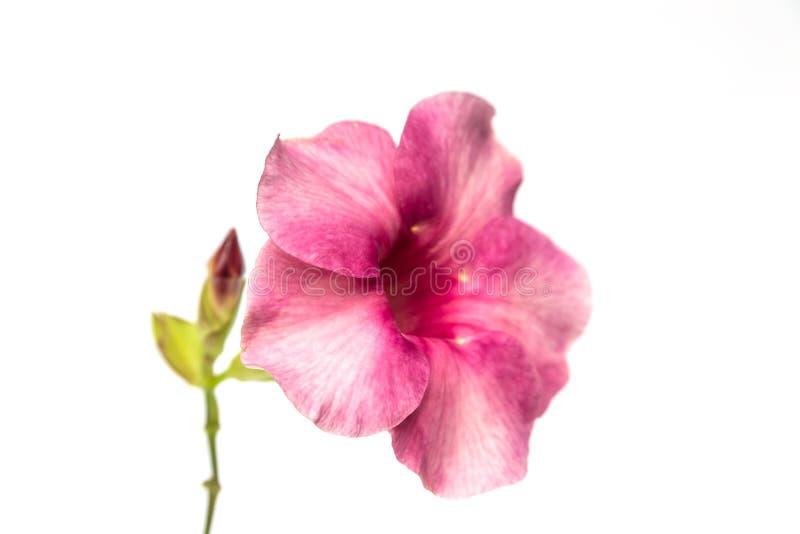 fiore del allamanda immagini stock libere da diritti