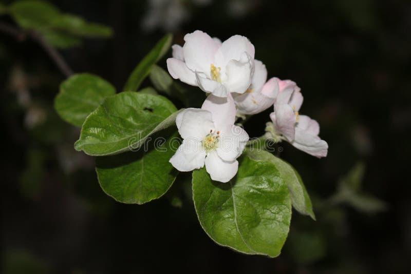 Fiore del Apple immagini stock libere da diritti