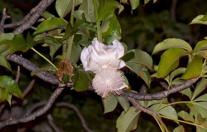 Fiore del baobab fotografia stock libera da diritti