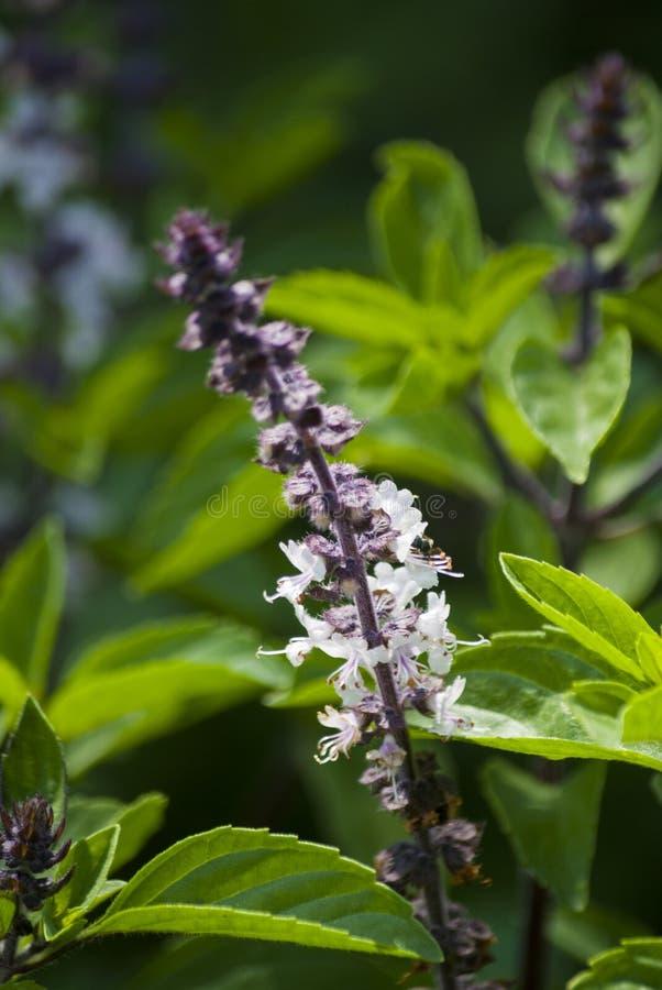 Fiore del basilico, ocimum basilicum, organico seminato in giardino all'aperto in Antigua Guatemala fotografia stock libera da diritti