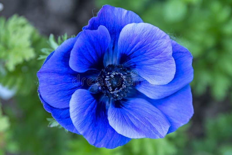 Fiore del blu dell'anemone fotografie stock libere da diritti
