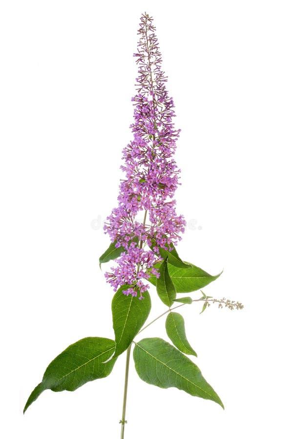Fiore del Buddleia immagine stock