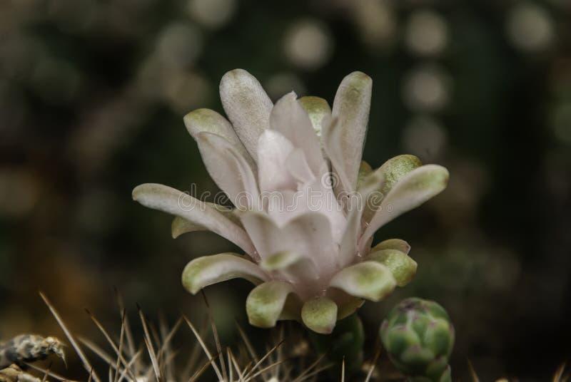 Fiore del cactus fotografie stock libere da diritti
