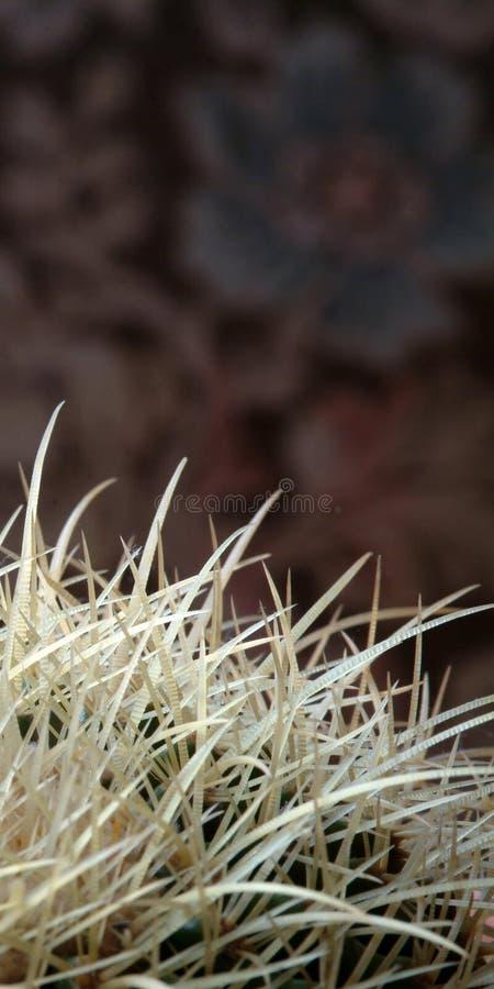 Fiore del cactus fotografie stock