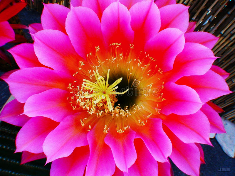 Fiore 1 del cactus fotografie stock libere da diritti