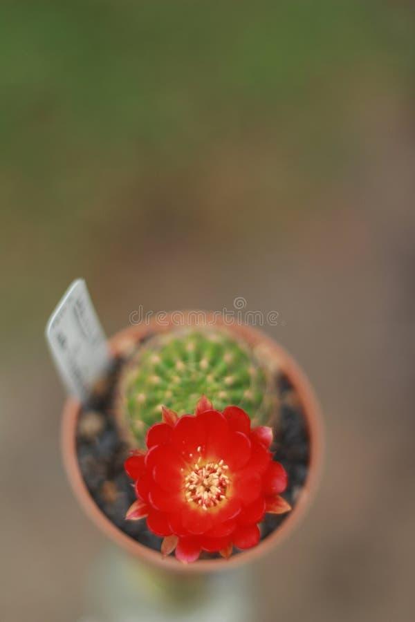 fiore 005 del cactus fotografia stock libera da diritti