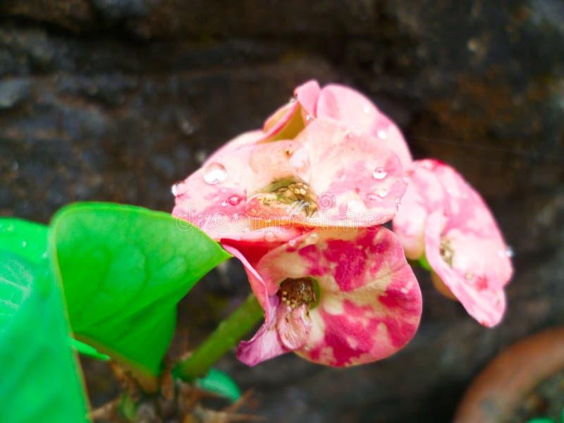 Fiore del cactus alla foto di macro dell'India immagine stock