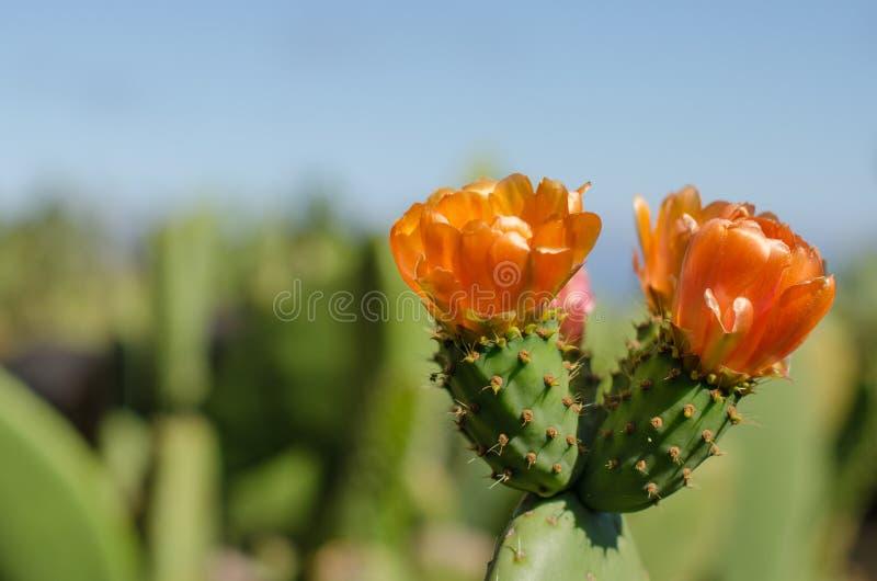 Fiore del cactus del nopal fotografie stock