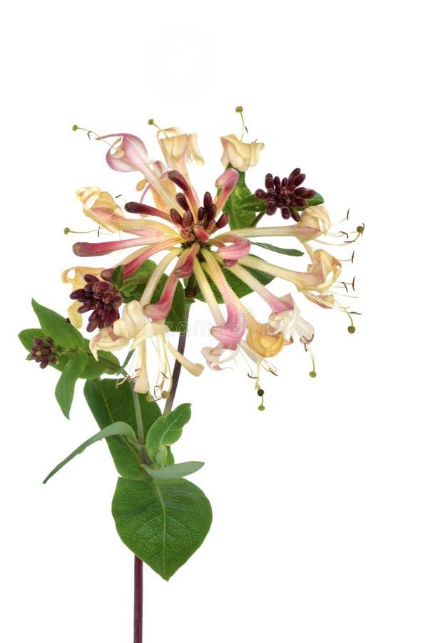 Fiore del caprifoglio fotografia stock
