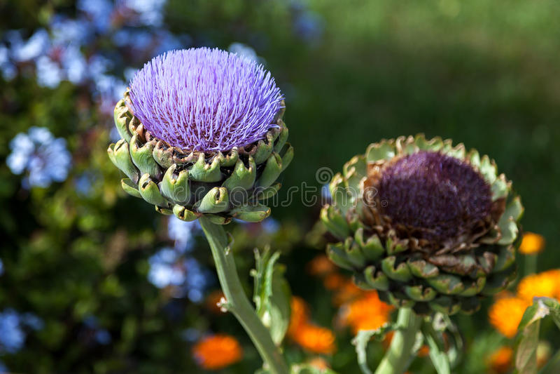 Fiore del carciofo (cynara scolymus) immagine stock libera da diritti