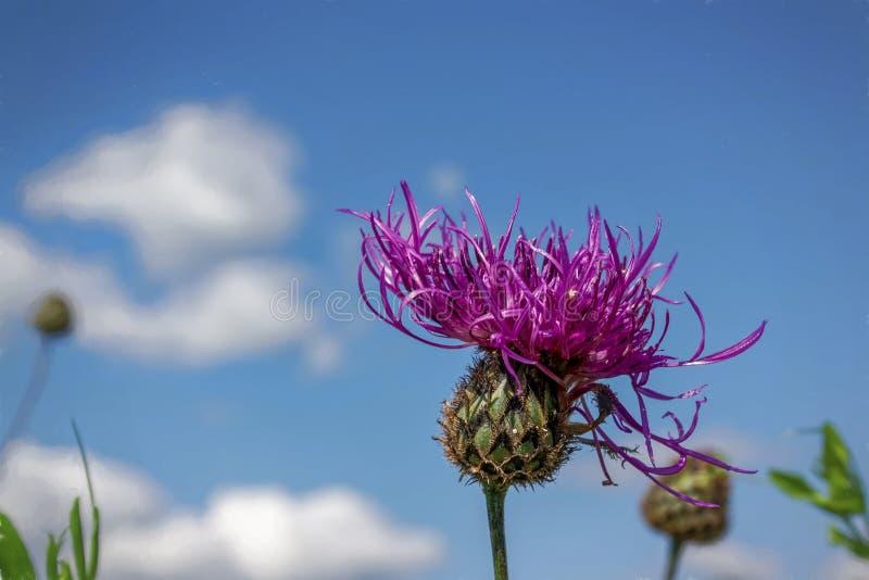 fiore del cardo selvatico sotto cielo blu fotografia stock libera da diritti