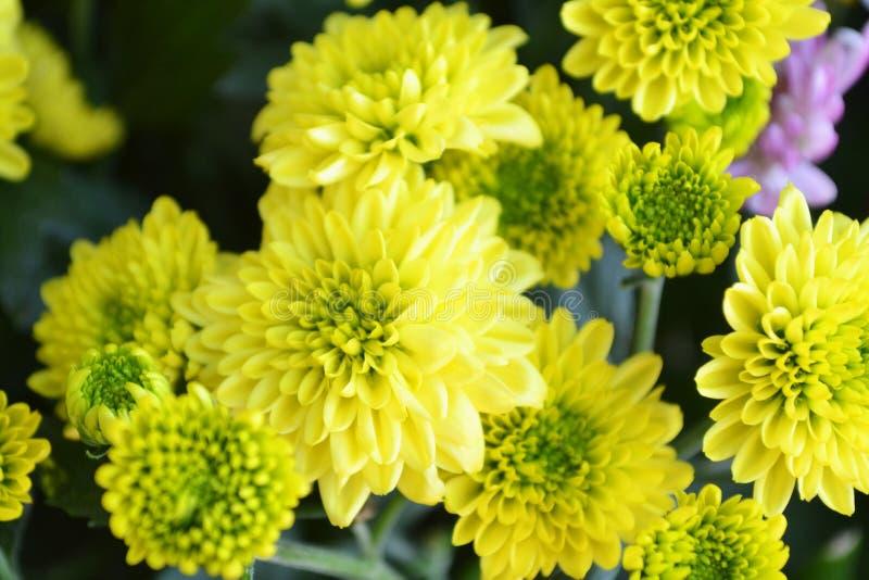 Fiore del chrysanthemum coronarium giallo dei fiori del crisantemo fotografia stock