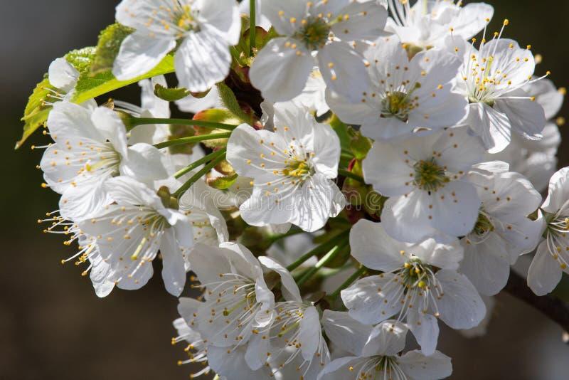 Fiore del ciliegio con fondo blu, fine sulla foto fotografia stock libera da diritti