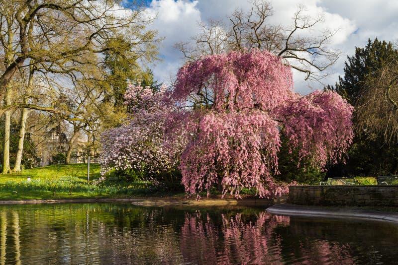 Fiore del ciliegio di Higan fotografia stock libera da diritti