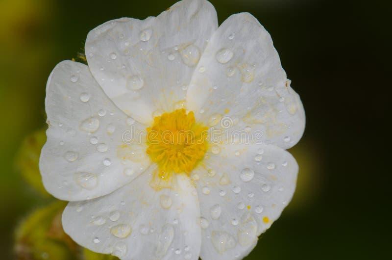 Fiore del cistus di Montpellier coperto di gocce di rugiada fotografie stock libere da diritti