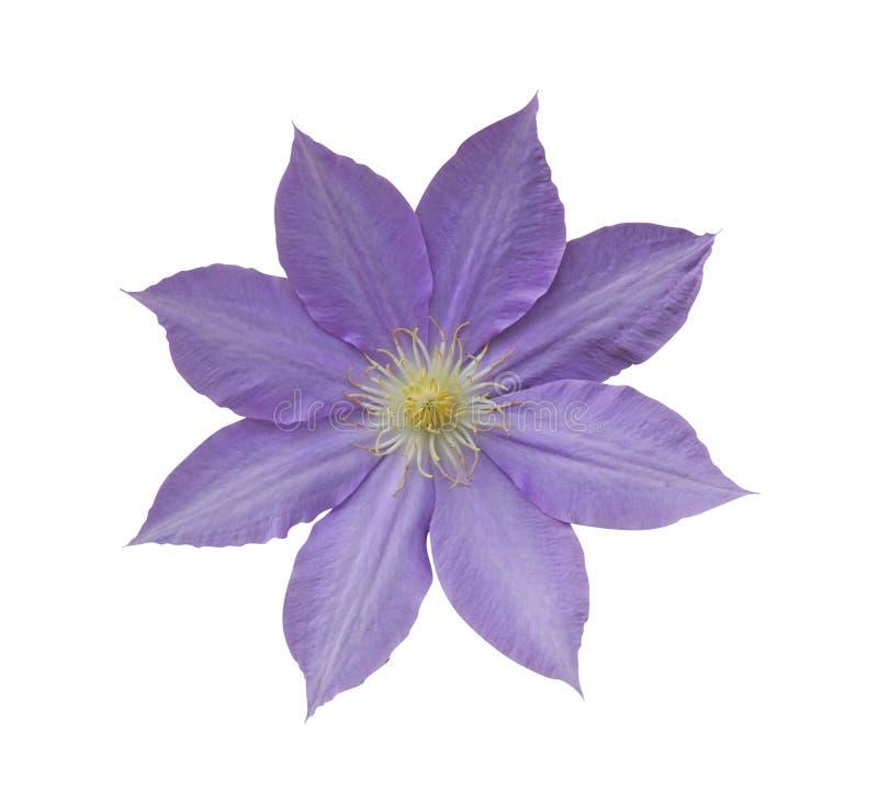 Fiore del Clematis immagine stock libera da diritti