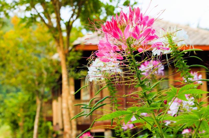 Fiore del Cleome o fiore di ragno nel giardino immagine stock libera da diritti