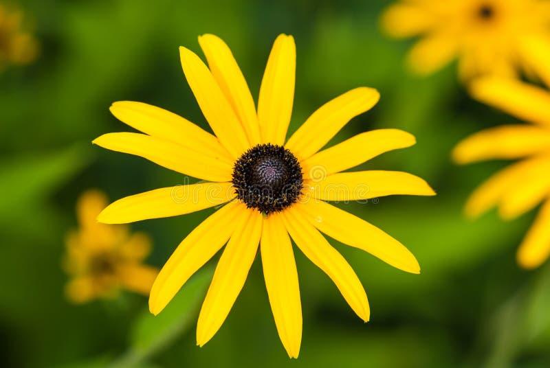 Fiore del Coneflower brillante fotografie stock
