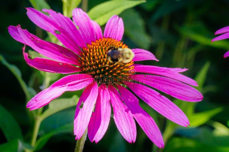 Fiore del cono con l'insetto di fulmine fotografia stock