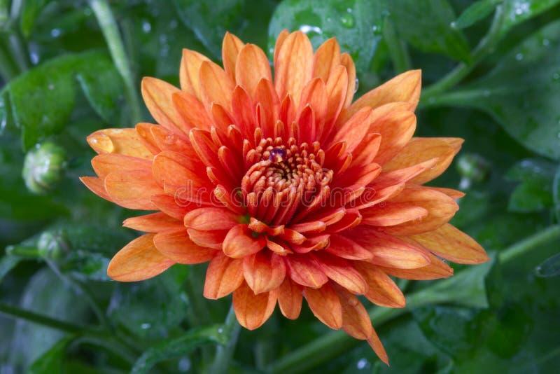 Fiore del crisantemo immagini stock
