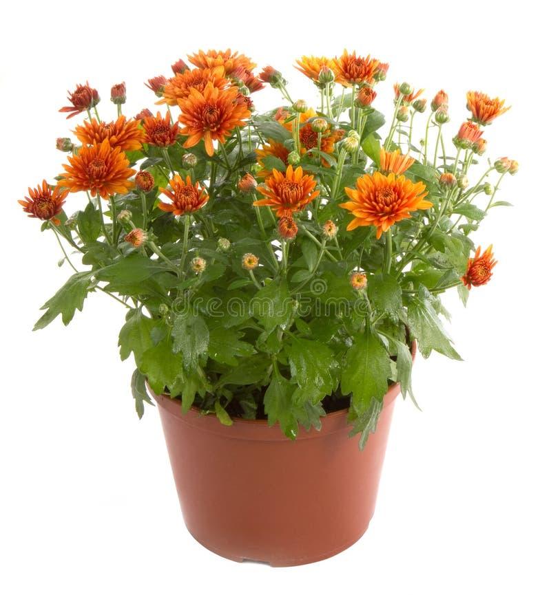Fiore del crisantemo fotografia stock libera da diritti