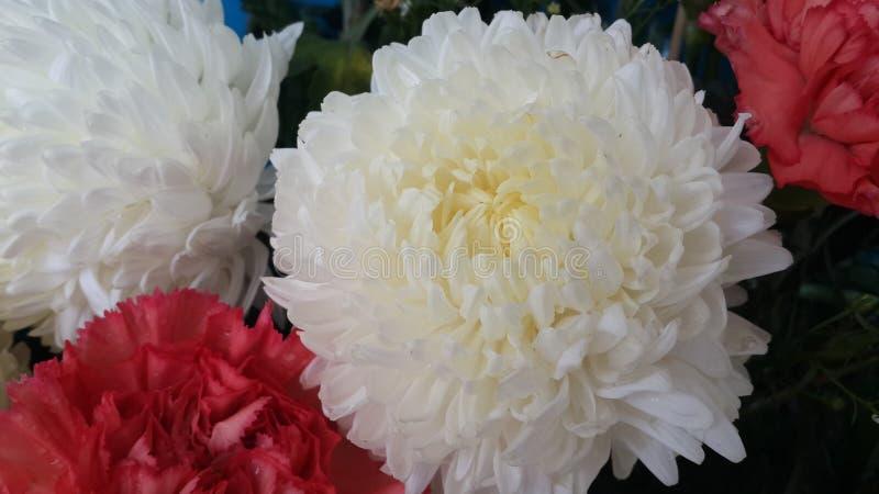 Fiore del crisantemo fotografie stock