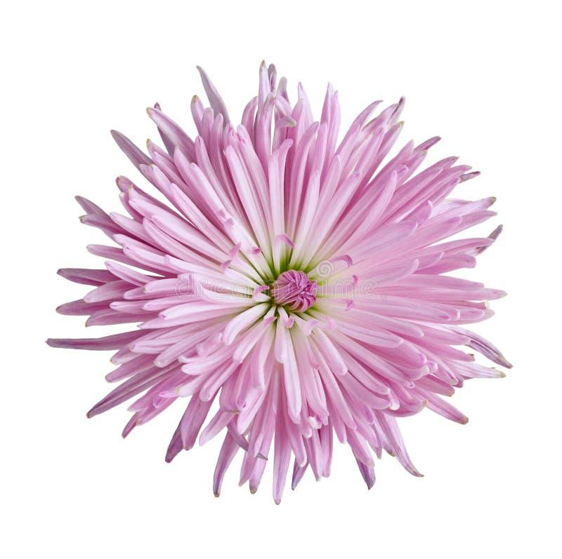 Fiore del crisantemo fotografia stock