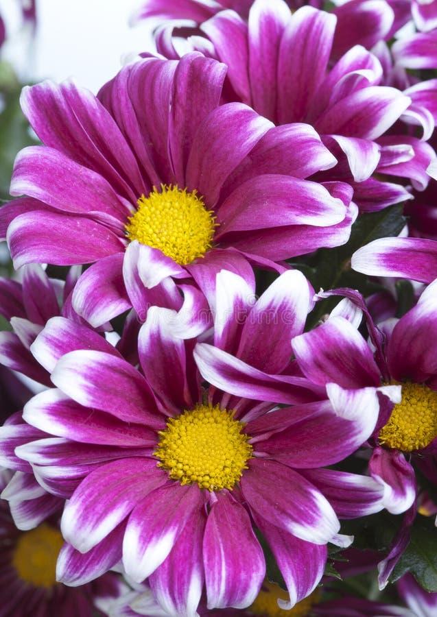 Fiore del crisantemo dentellare fotografie stock