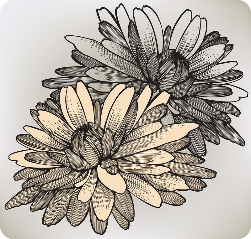 Fiore del crisantemo, a mano disegno. Illustr di vettore royalty illustrazione gratis