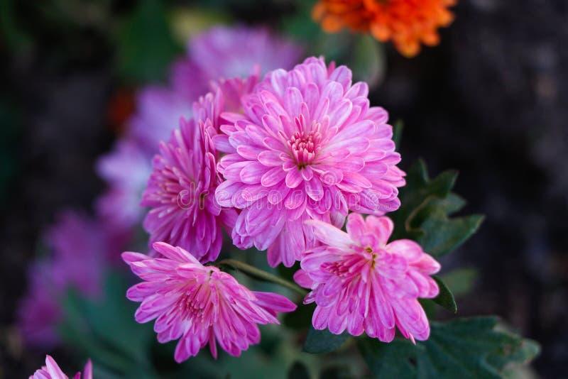 Fiore del crisantemo nel giardino immagini stock