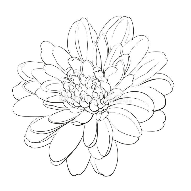 Fiore del crisantemo su fondo bianco. illustrazione di stock