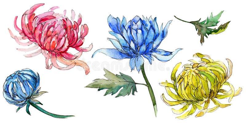 Fiore del crisantemo del Wildflower in uno stile dell'acquerello isolato illustrazione vettoriale