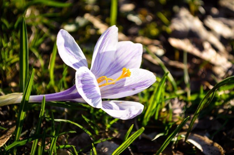 Fiore del croco colorato porpora fotografia stock