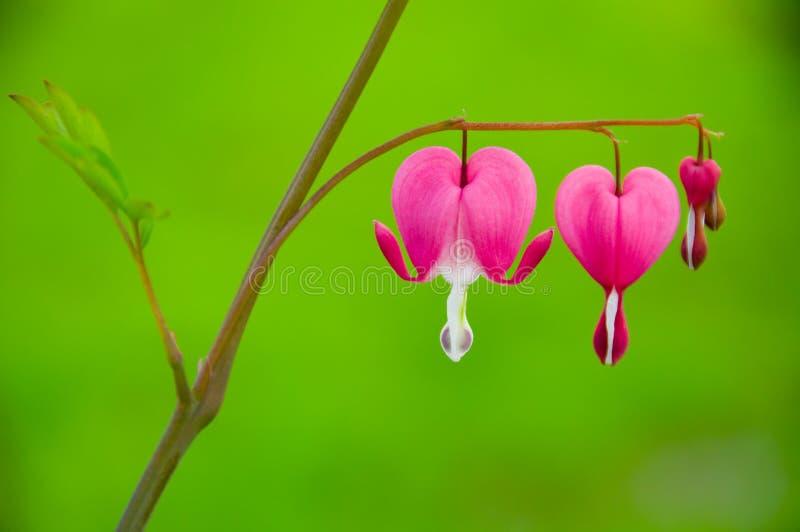 Fiore del cuore di spurgo - spectabilis del Dicentra fotografia stock libera da diritti