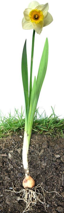 Fiore del Daffodil immagine stock