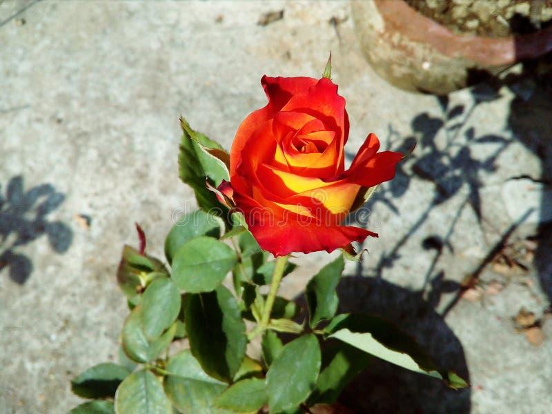 Fiore del fiore della rosa rossa di estate immagini stock libere da diritti