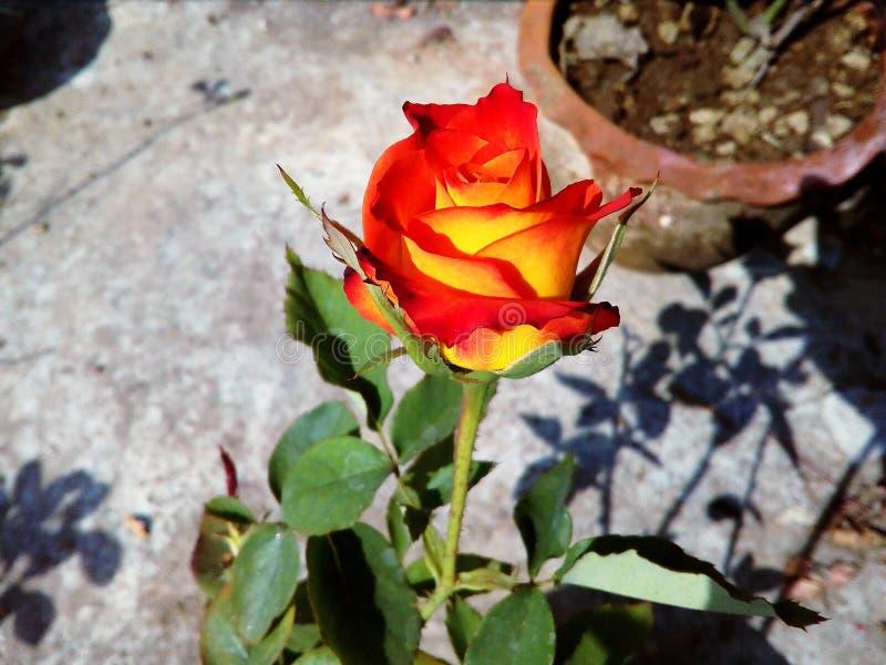 Fiore del fiore della rosa rossa di estate fotografia stock libera da diritti