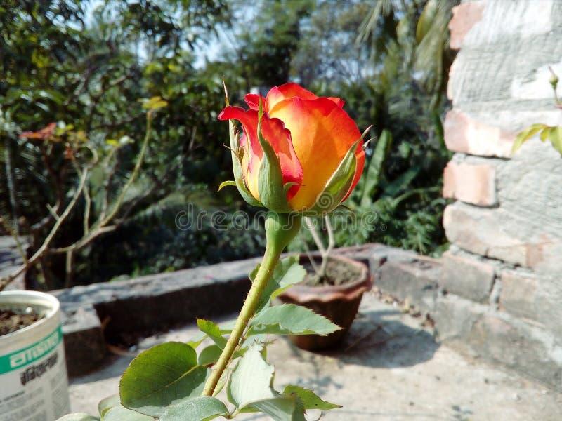 Fiore del fiore della rosa rossa di estate fotografie stock libere da diritti