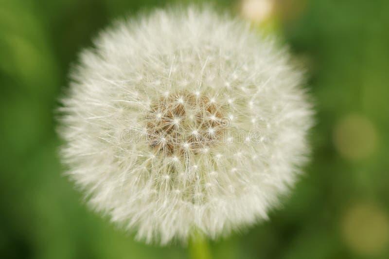 Download Fiore del dente di leone fotografia stock. Immagine di prati - 117979406