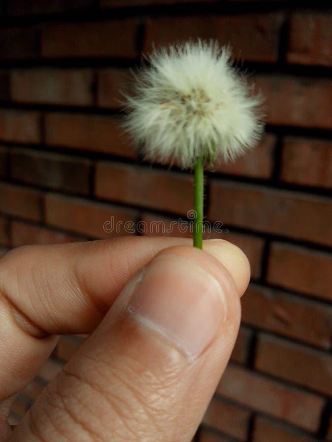Fiore del dente di leone fotografia stock libera da diritti
